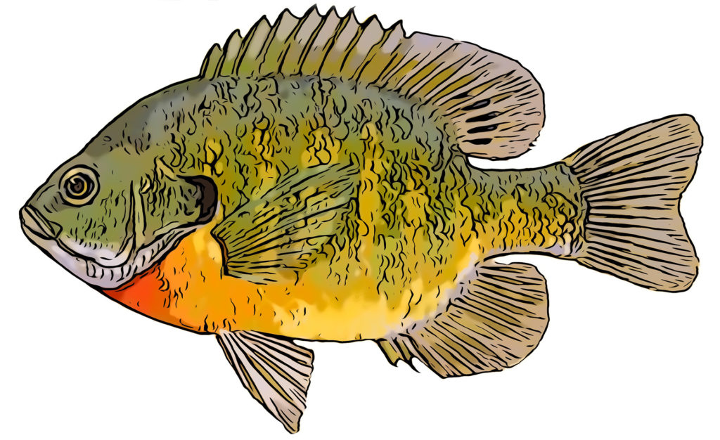 Bluegill fishing - The Trill of the Gill pic 1